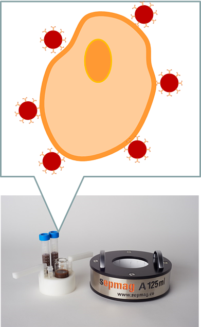 methods magnetic cell sorting